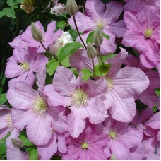 Клематис крупноцветковый Леди Бетти Белфор