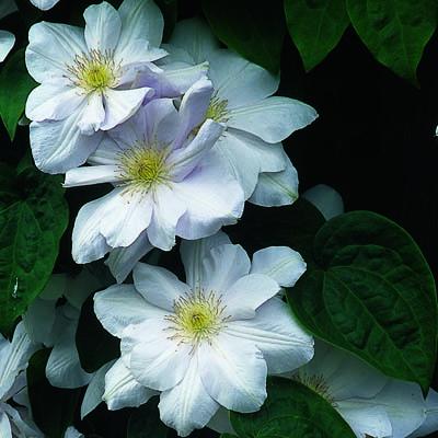 Купить саженцы Клематис крупноцветковый Мадам Ле Культре