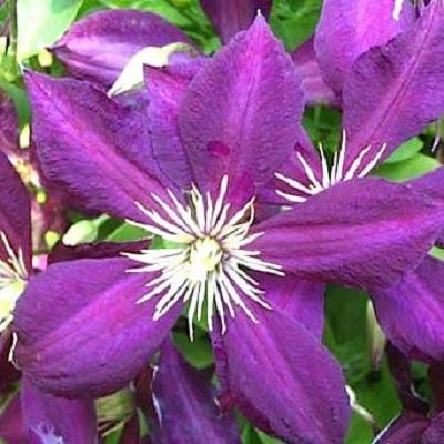 Купить саженцы Клематис крупноцветковый Микелит