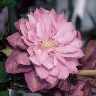 Купить саженцы Клематис крупноцветковый Протеус