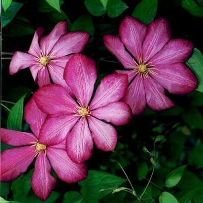 Купить саженцы Клематис крупноцветковый Рахварине