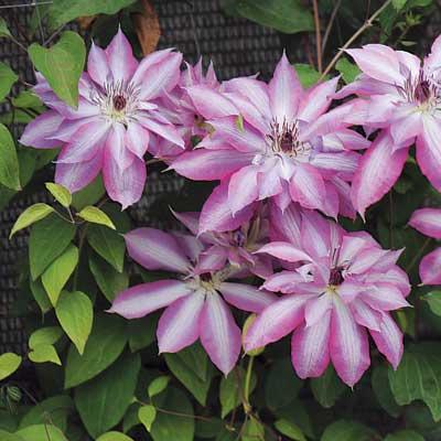 Купить саженцы Клематис крупноцветковый Серафина