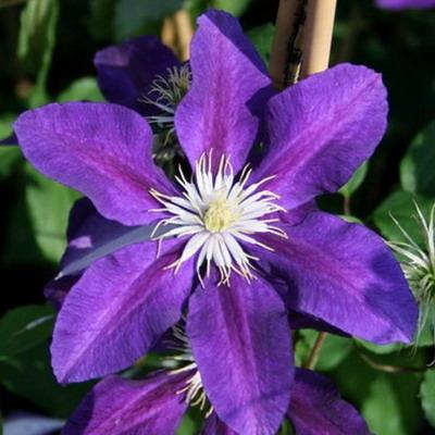 Купить саженцы Клематис крупноцветковый Вэгабонд