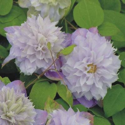 Купить саженцы Клематис крупноцветковый Вероника Чойс