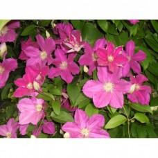Клематис крупноцветковый Эрнест Макхем