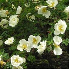 Роза колючейшая