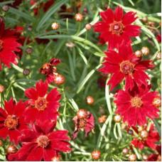 Кореопсис мутовчатый Руби Ред