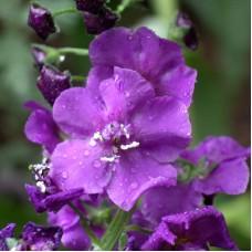 Коровяк фиолетовый Виолетта