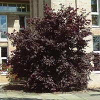 Лещина крупная Пурпуреа