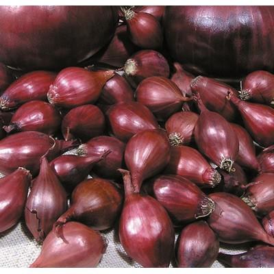 Купить лук севок Кармен МС