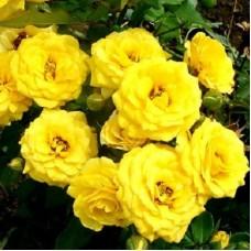 Роза миниатюрная Беби Голд