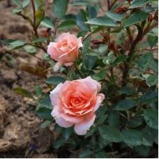 Роза миниатюрная Флауэр Пауэр