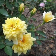 Роза миниатюрная Голден Мейландина
