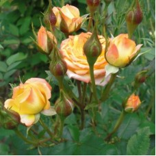 Роза миниатюрная Корсо