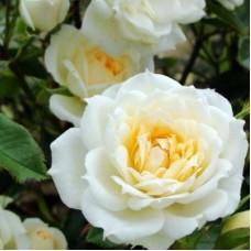 Роза миниатюрная Крим оф Кроп