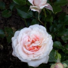 Роза миниатюрная Леди Мейландина