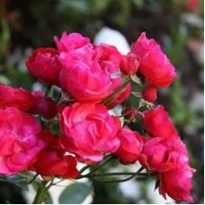 Роза миниатюрная Морсдаг