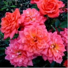 Роза миниатюрная Ориндж Бьюти