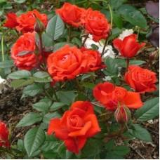 Роза миниатюрная Перла де Трансильвания