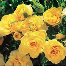 Роза миниатюрная Петито