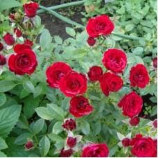 Роза миниатюрная Скарлет Хит