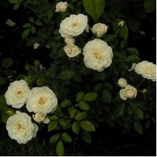 Роза миниатюрная Сноу Хит