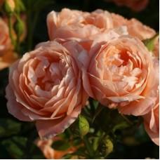 Роза миниатюрная Свит Дрим