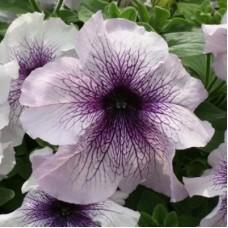 Петуния крупноцветковая  Белая с фиолетовыми жилками