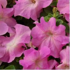 Петуния крупноцветковая Розовая