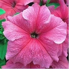Петуния крупноцветковая Розовая с жилками