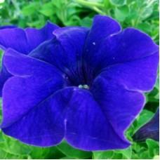 Петуния крупноцветковая Синяя