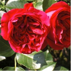 Роза Мейян плетистая Ред Эден Розе