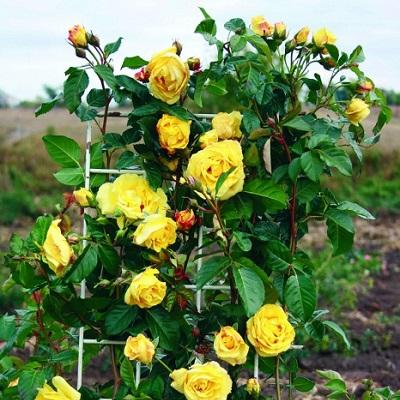Роза плетистая Казино купить саженцы