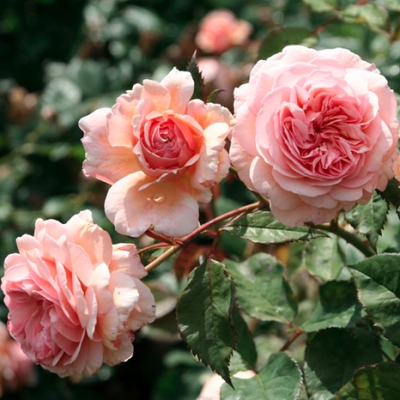 Роза плетистая Клайминг Кимоно купить саженцы