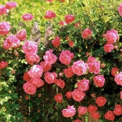 Роза плетистая Парад купить саженцы