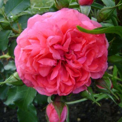 Роза плетистая Розариум Ютерсен купить саженцы