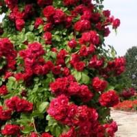 Роза плетистая Гранд Отель