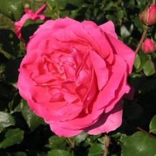 Роза плетистая Клайминг Парад