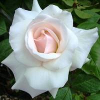 Роза плетистая Свон Лейк