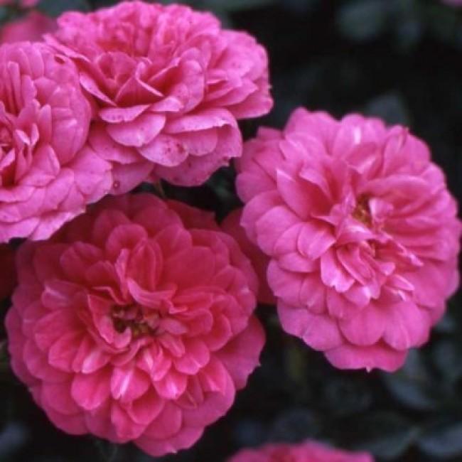 Роза кордес юбилеем