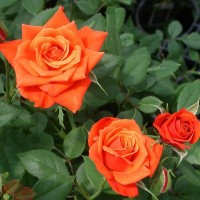 Роза почвопокровная Миниатюра Ориндж