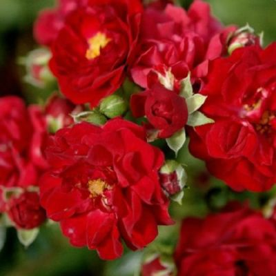 Роза почвопокровная Ред Фэйри купить саженцы