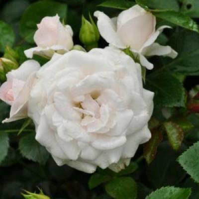 Роза почвопокровная Вайт Фэйри купить саженцы
