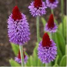 Примула орхидная