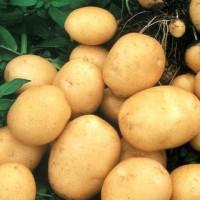 Семенной картофель Колобок