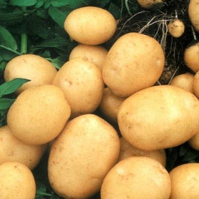 Купить Семенной картофель Колобок
