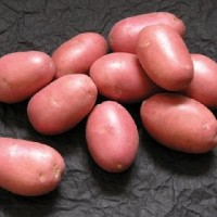 Семенной картофель Ред Скарлет