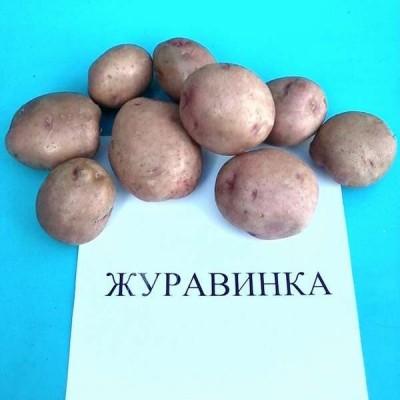 Купить Семенной картофель Журавинка