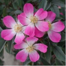 Роза сизая Глаука