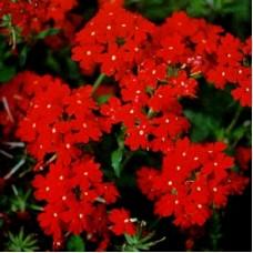 Вербена крупноцветковая Алая